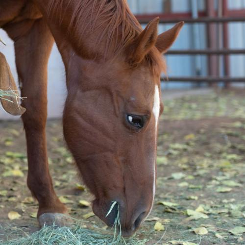 Adoptable Female Quarterhorse / Mustang / Mixed