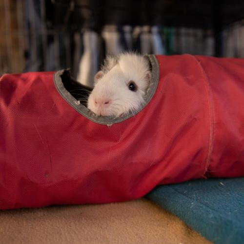 Adoptable Male Guinea Pig