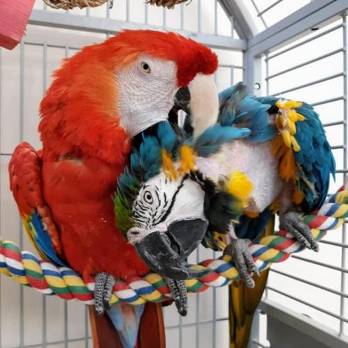 Adoptable Male Macaw