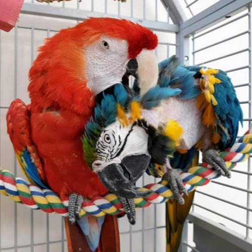 Adoptable Female Macaw