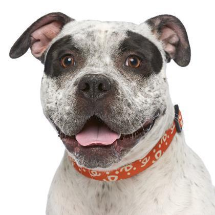Adoptable Female American Pit Bull Terrier / English Bulldog / Mixed
