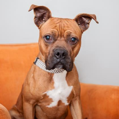 Adoptable Male Boxer / American Staffordshire Terrier / Mixed