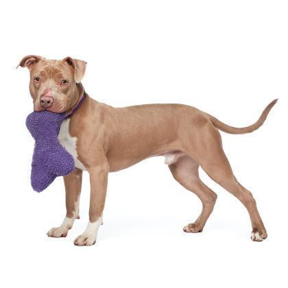 Adoptable Male American Pit Bull Terrier / Hound / Mixed