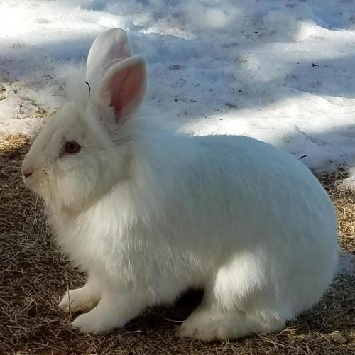 Adoptable Male Lionhead / Mixed