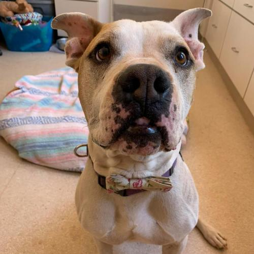 Adoptable Male American Pit Bull Terrier / Golden Retriever / Mixed