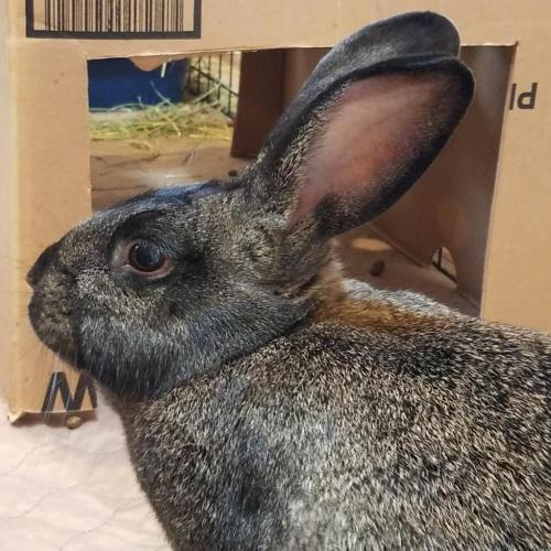 Adoptable Female American Chinchilla / Mixed