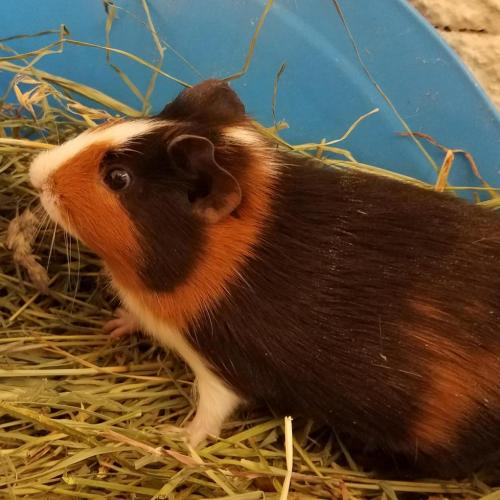Adoptable Female Guinea Pig