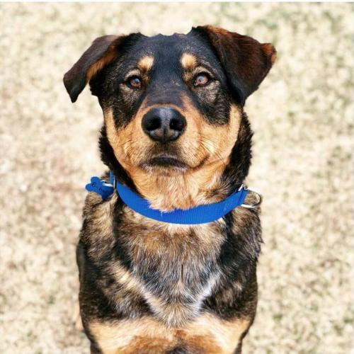 Adoptable Male German Shepherd Dog / Mixed
