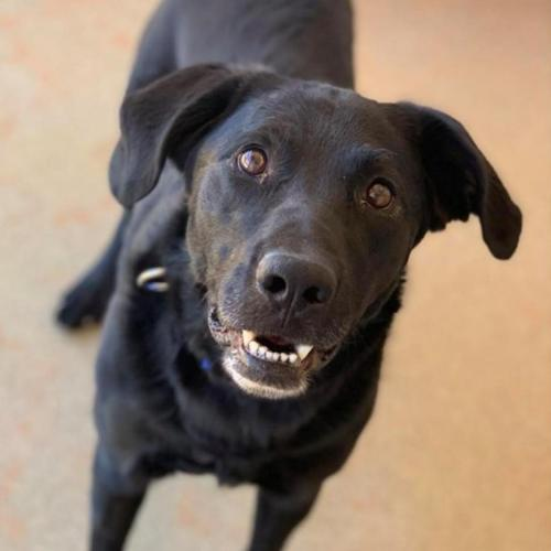 Adoptable Male Labrador Retriever / Mixed