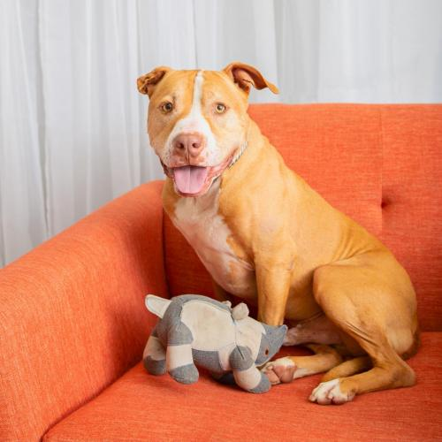 Adoptable Male American Staffordshire Terrier / Boxer