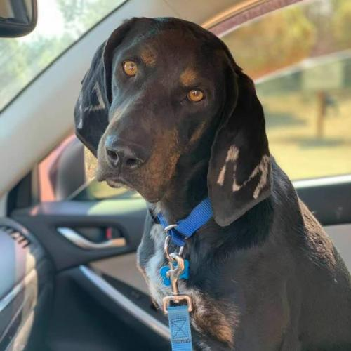 Adoptable Male Coonhound / Mixed