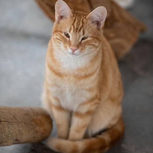 Adoptable Male Domestic Short Hair