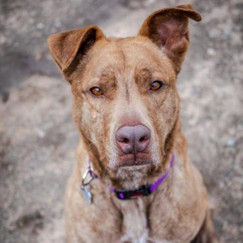 Adoptable Male American Staffordshire Terrier / Chow Chow / Mixed