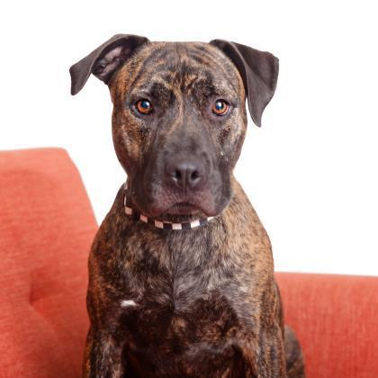 Adoptable Female American Staffordshire Terrier / Mixed