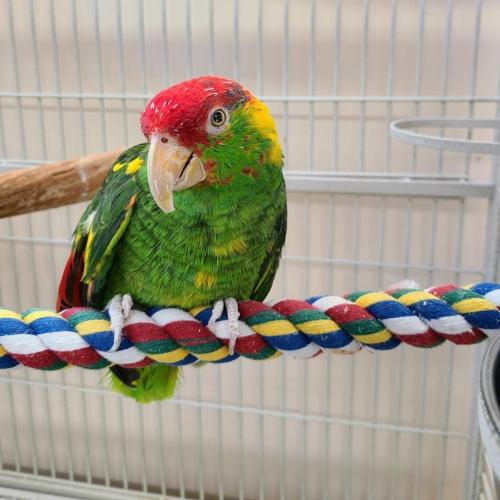 Adoptable Male Parrot Other