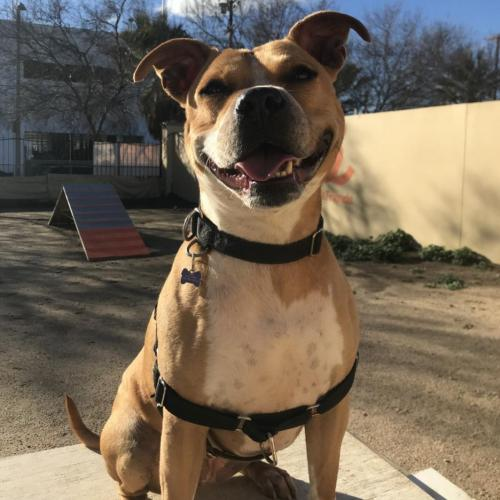 Adoptable Female American Staffordshire Terrier / Boxer / Mixed