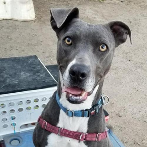 Adoptable Female Boxer / American Staffordshire Terrier / Mixed