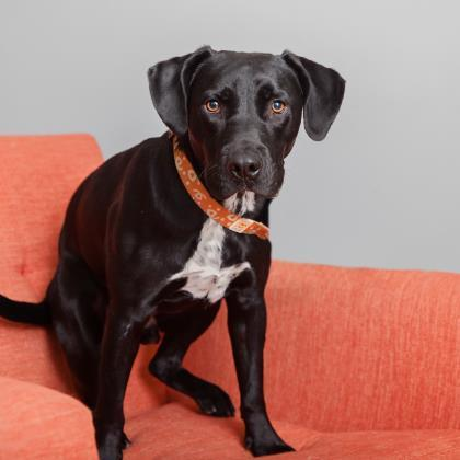 Adoptable Male Black Labrador Retriever / American Staffordshire Terrier / Mixed