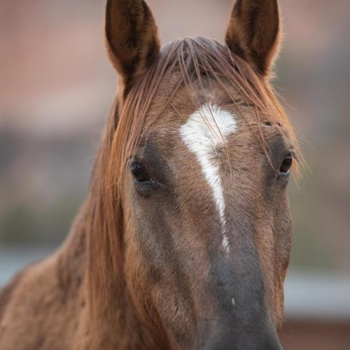 Adoptable Male Mustang