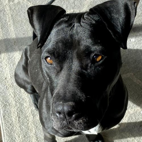 Adoptable Female Pit Bull Terrier / Labrador Retriever / Mixed