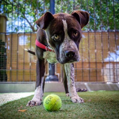 Adoptable Male American Staffordshire Terrier / Boxer / Mixed