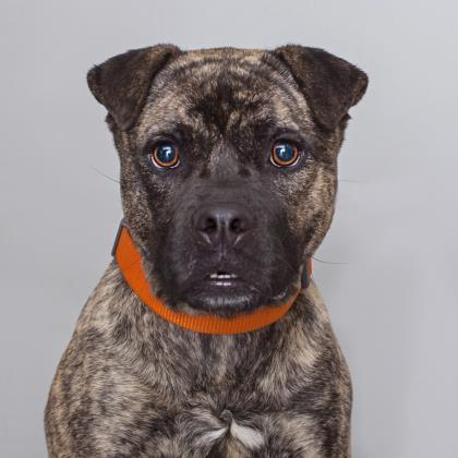 Adoptable Male American Pit Bull Terrier / Chinese Shar-Pei / Mixed