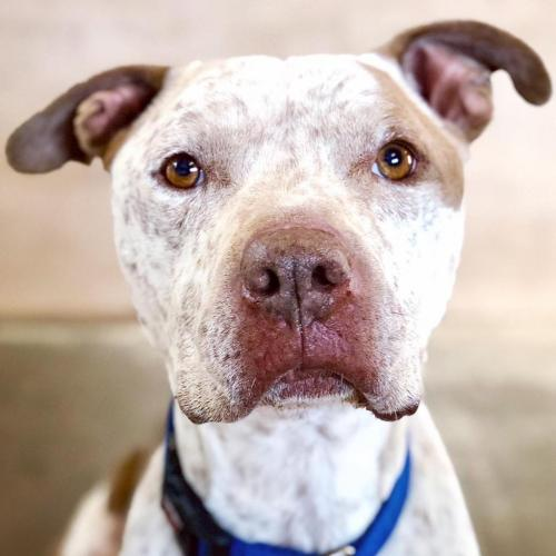 Adoptable Male American Staffordshire Terrier / Mixed
