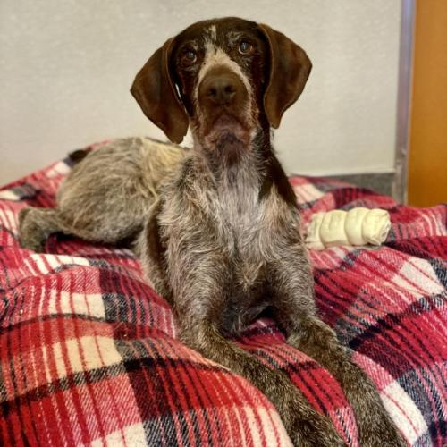 Adoptable Male German Wirehaired Pointer