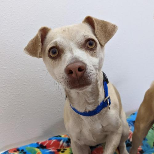 Adoptable Male Chihuahua / Mixed