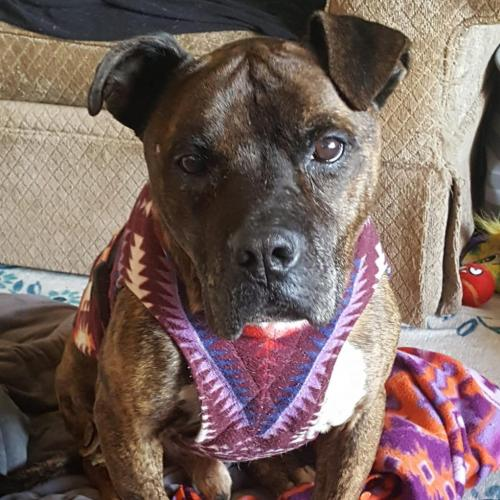 Adoptable Male American Pit Bull Terrier / Boxer / Mixed