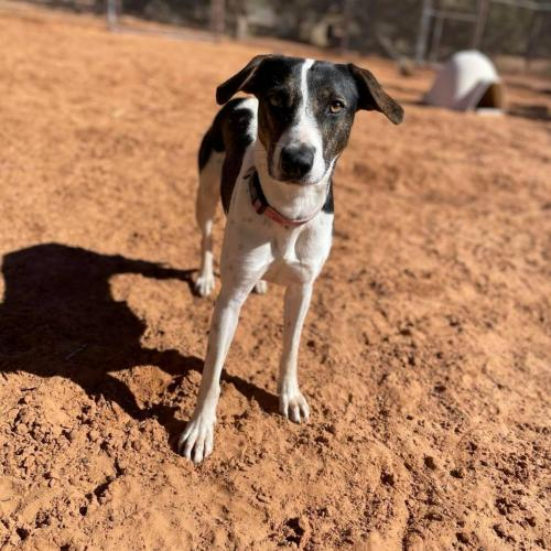 Adoptable Female Cattle Dog / Jack Russell Terrier / Mixed