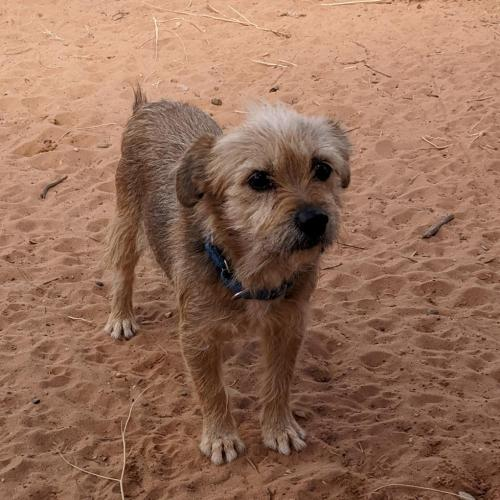 Adoptable Female Cairn Terrier / Mixed