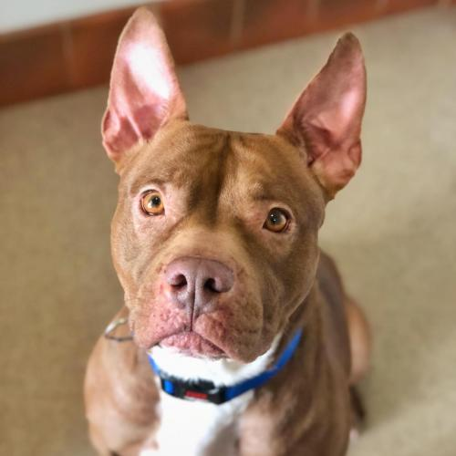 Adoptable Female Pit Bull Terrier / Mixed