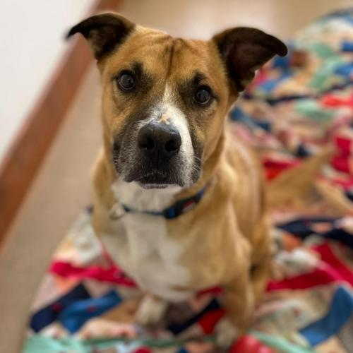 Adoptable Male Boxer / Black Mouth Cur / Mixed