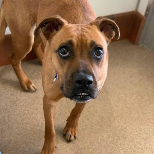 Adoptable Female Boxer / Mixed
