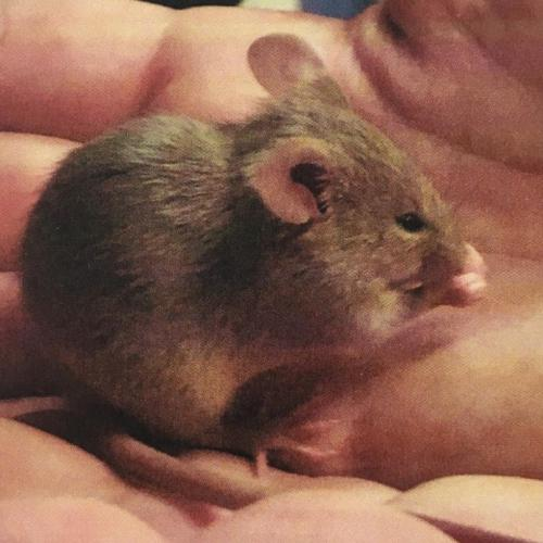 Adoptable Male Mouse