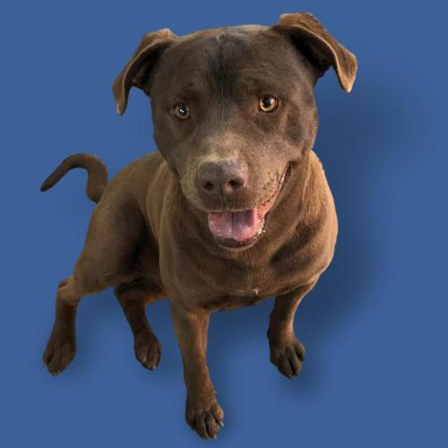 Adoptable Male Chocolate Labrador Retriever / Pit Bull Terrier / Mixed