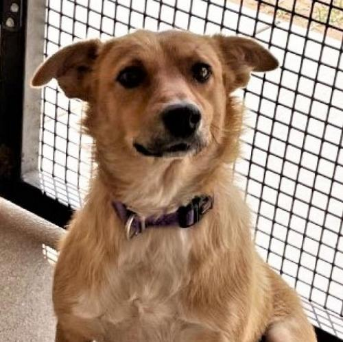 Adoptable Female Cattle Dog / Mixed