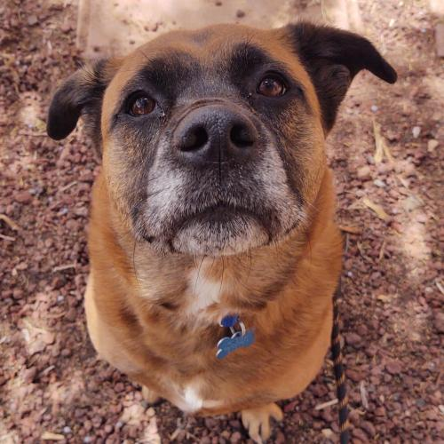 Adoptable Female Chow Chow / Mixed