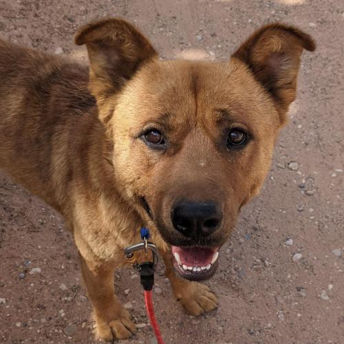 Adoptable Male Chow Chow / Mixed