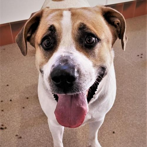 Adoptable Female Pit Bull Terrier / Great Pyrenees / Mixed
