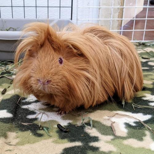 Adoptable Male Guinea Pig / Mixed