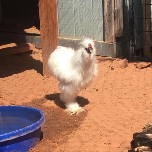 Adoptable Male Chicken / Silkie / Mixed