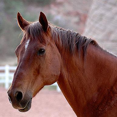 Adoptable Male Horse / Quarterhorse