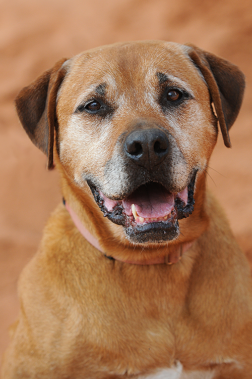 Rhodesian Ridgeback Dogs For Adoption