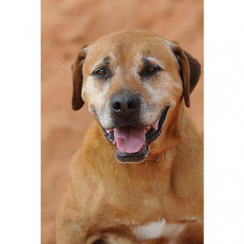 Adoptable Male Rhodesian Ridgeback (short coat)