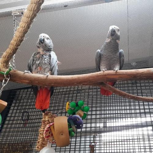 Adoptable Male African Grey