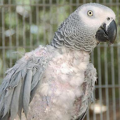 Adoptable Female African Grey