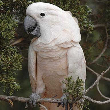 Adoptable Male Cockatoo