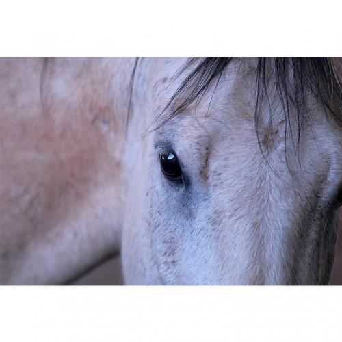 Adoptable Male Quarterhorse / Arabian / Mixed